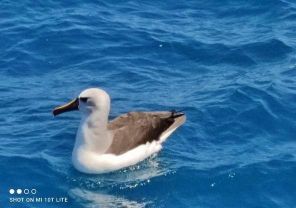 Albatros beccogiallo atlantico