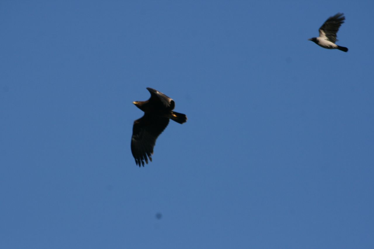 Aquila anatraia minore