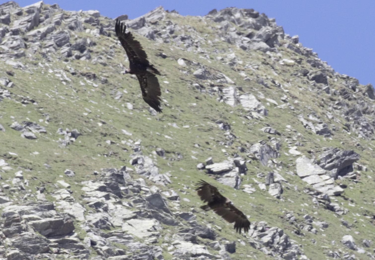 Avvoltoio monaco